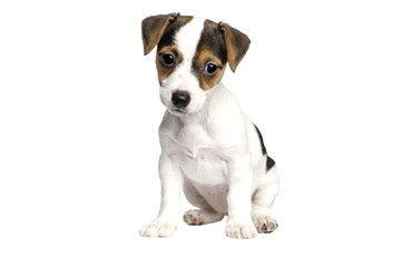 IL JACK RUSSEL